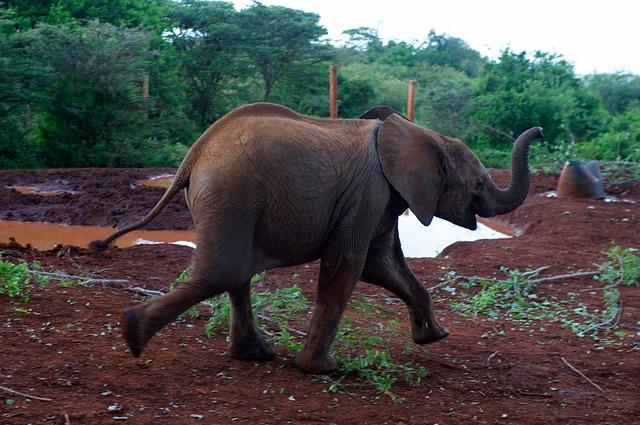 Bežiaci slon.jpg